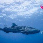 Whale Shark at Chumphon Pinnacle Dive site, Koh Tao