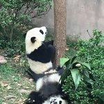 Baby pandas are very playful