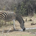 The view of the waterhole from the room - Zebra!