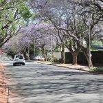 Main jacaranda lined, road to Rosebank Mall.