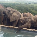 The whole herd comes to the pool, forms an orderly queue to drink