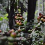 Coffee plant...