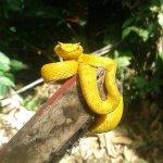 Eyelash Pit-viper, yellow morph  Oropel Bothriechis schlegelii 📷 Hernan Chacón NO en Bajo del T