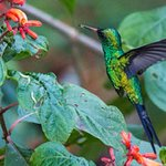 our mature garden attracts the Emerald Hummingbird - endemic to Cozumel