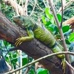 Un iguane vert