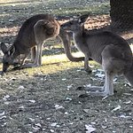 Kangaroos hanging out on the grounds