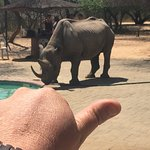 Black Rhino that comes to drink at the Restaurant swimming pool at about 1:30pm.