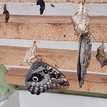 Butterflies emerging from the chrysalis