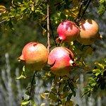 Granatapfelbaum.