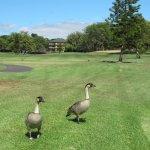Waikoloa Village GC: Nene (Hawaiian Goose) on fairway