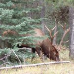 Bull Elk about 2mins walk from the Hotel