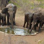 Group of elephants drinking and bathing at the camp's waterhole just in front of the terrace.