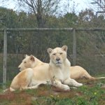 two of the white lion family