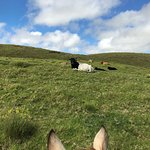 A few cows, from horseback-persepective. You can see the gorgeous hills and sky.