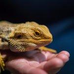 Ike the pet Bearded Dragon