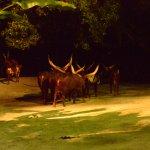 Indian bulls