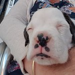 "New arrival at alice springs and we were lucky enough to meet him ""spike"" gorgeous boxer puppy ,"