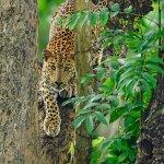 Leopard at Nagarhole Tiger Reserve!