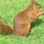 Genuine red squirrel