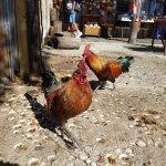 Cuban Coffee Queen Chickens