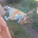 This close we got..to a sleeping Tiger :)
