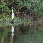 Egret in Atchafalya