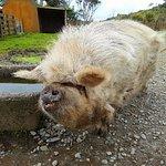 Kune Kune pig in the farmyard