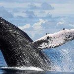 Breaching Humpback Whales!