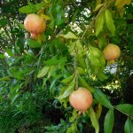 pomegranate trees in the garden