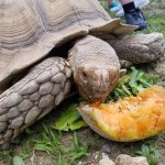 Sulcata tortoise chowing down on a cantalope!