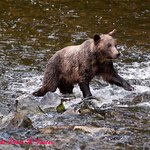 bears fishing for salmon