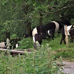 Belted Galloways grazing near the car park at Tarn Hows