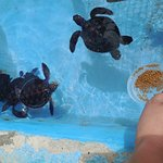 We feeding the smallest turtles in the nursery