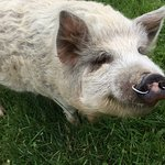 Pet pig in the paddock