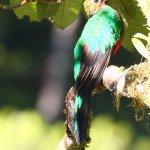 Golden Headed Quetzal