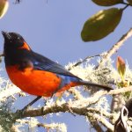 Scarlet Bellied Mountain-Tanager