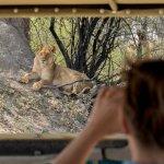 hwange national park - lion from safari vehicle