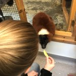 Feeding apple to a Red Ruffed Lemur!