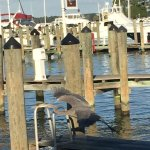 Our gorgeous blue herons taking flight on the docks af our favorite crab house.
