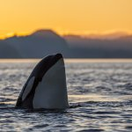 Spy hopping orca at sunset