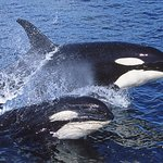 Resident Orca whales
