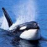 High speed traveling Orca