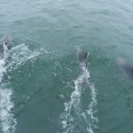 Dolphins swimming in front of the catamaran