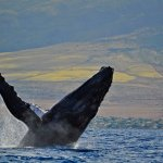 Whale watching Aboard Quicksilver Sunset Dinner Cruise From Lahaina