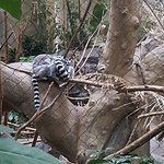 Lemurs sleeping together