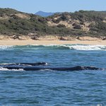 Southern Right Whale - mother and calf
