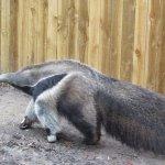 Massive anteater