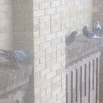 Pigeons take shelter from rain outside our window