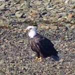 Bald Eagle waiting for lunch