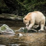 Spirit Bear as seen on Photo Trip with Maple Leaf Adventures
